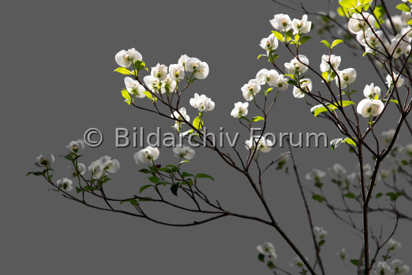 Magnolienstrauch